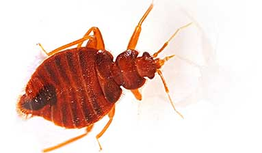 how  to identify a bed bug