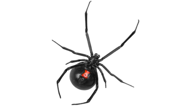 black widow identification