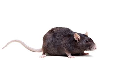 norway rat control charleston sc